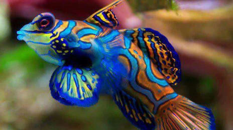 Mandarinfish - Mandarin Dragonet