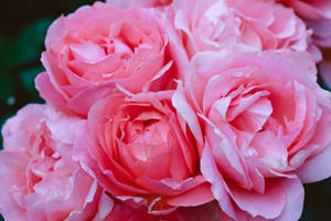 pink roses optimized for web at high quality