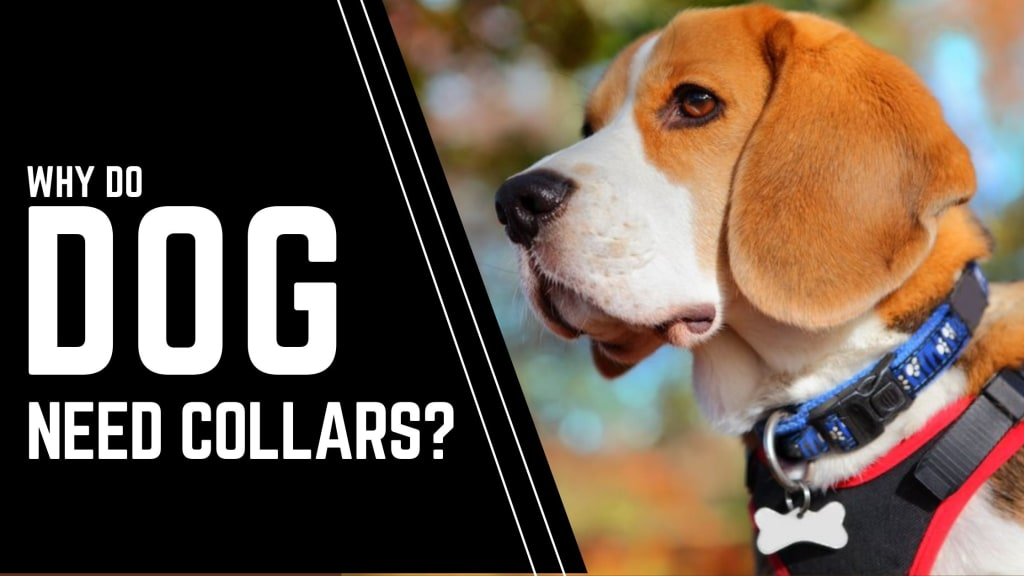 Why Do Dogs Need Collars