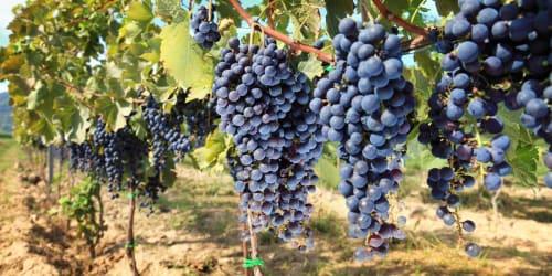 Chianti med vinfest