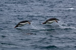 Two gentoo penguins diving over the water
