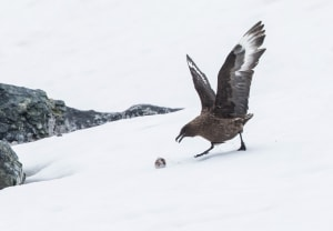 A skua sea bird grabbing a meal from the snow