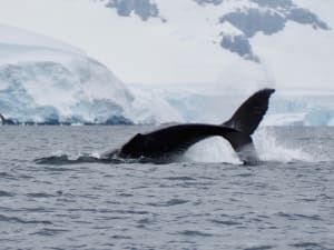 whale diving down into the water, snowy shore in the background