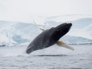 Whale breaching, whole body out of the water