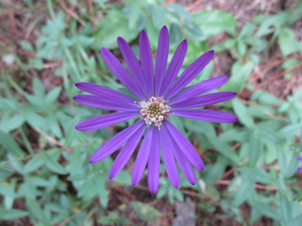 The rare Georgia Aster can be found at Pickett's Mill.