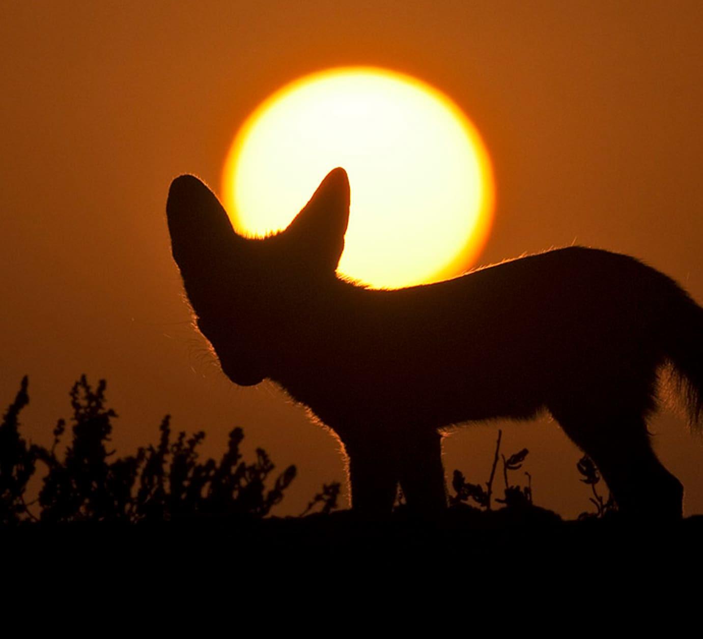 Furry and Feisty the Desert Fox Endures