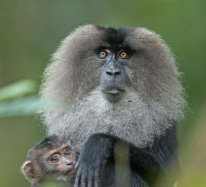 Pride of the Western Ghats: The Elusive Lion-tailed Macaque