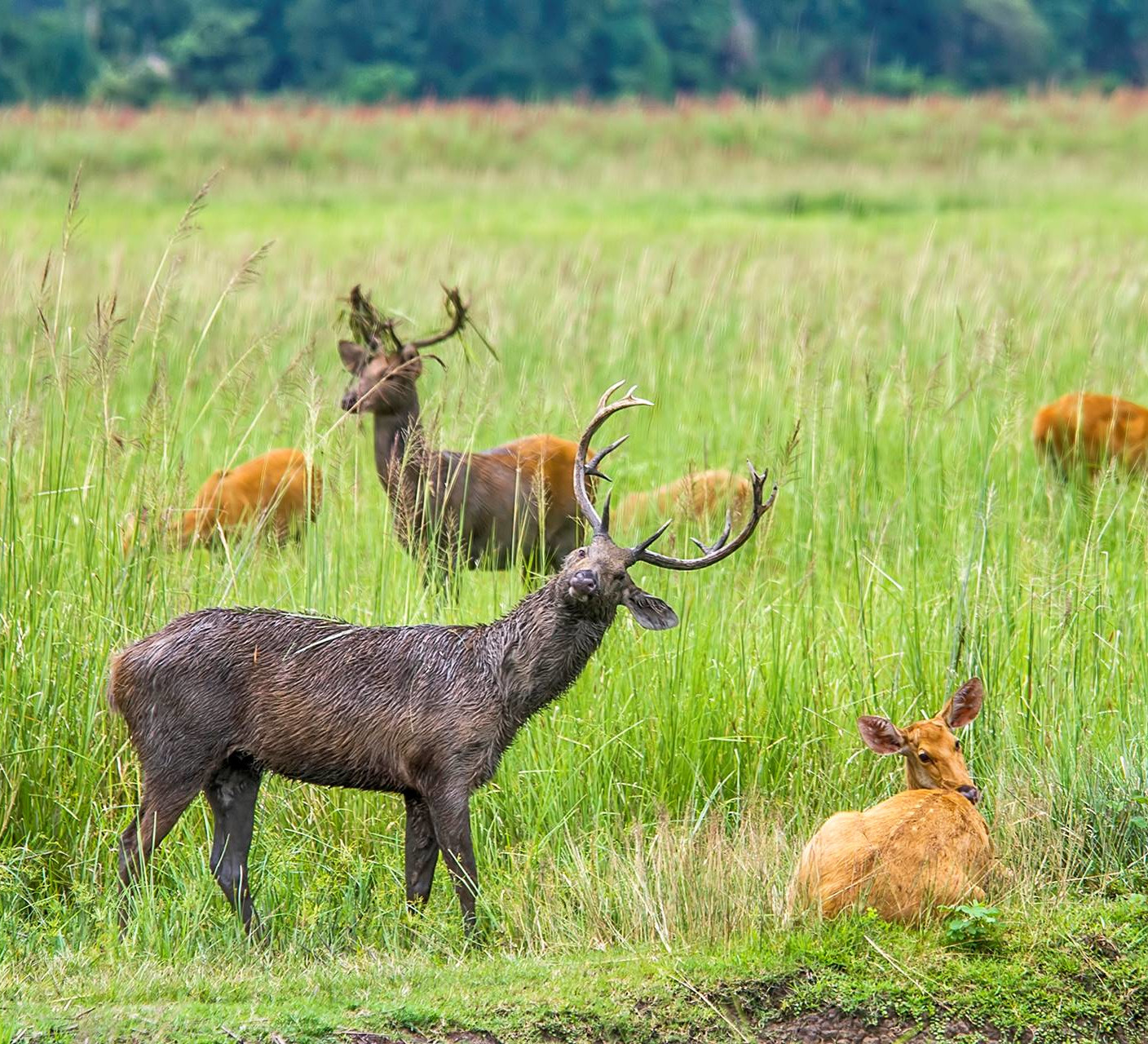 Grasslands are the Eastern Swamp Deer's Only Domain