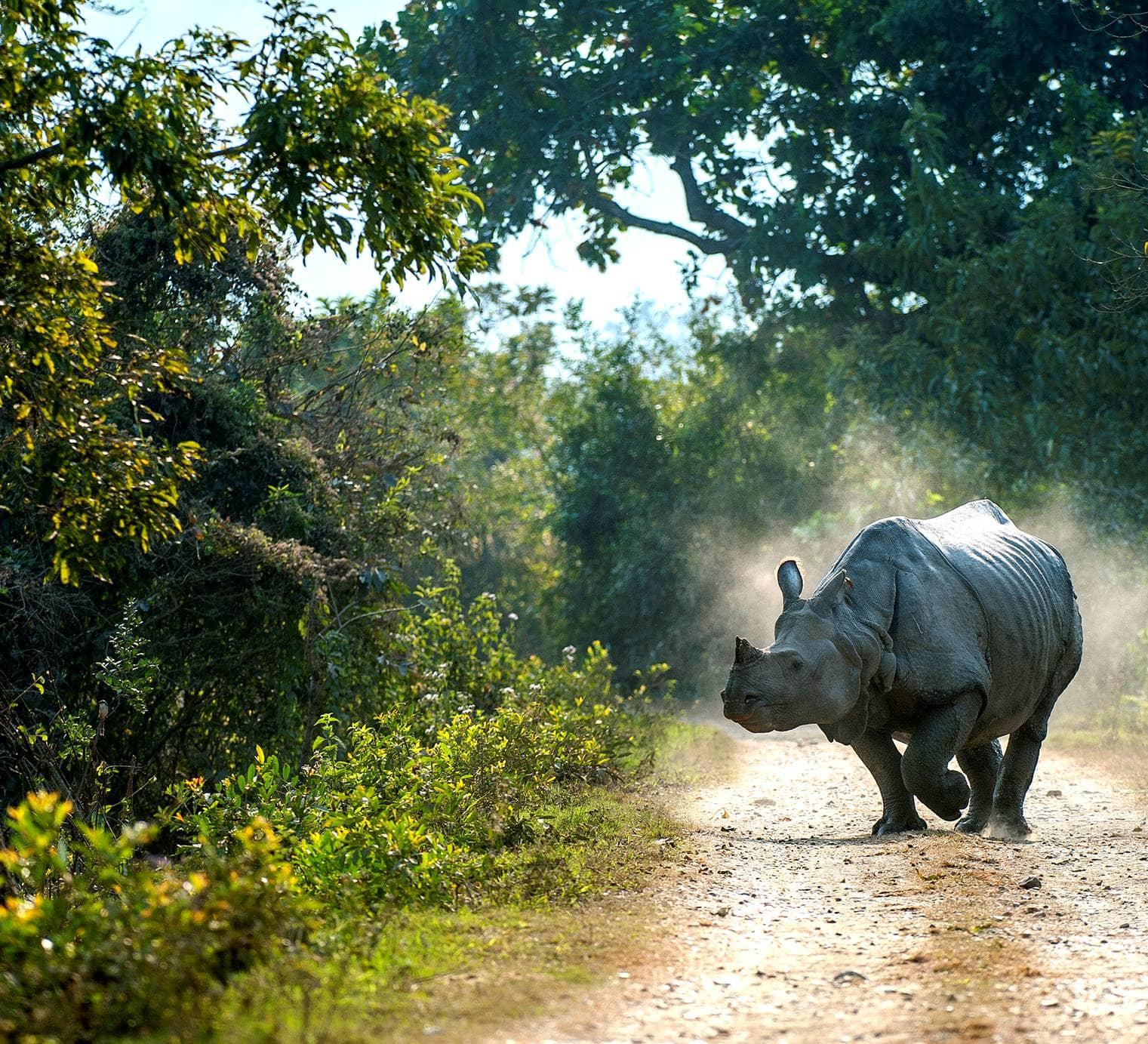 India's Prehistoric Unicorns: The Rhinos of Kaziranga