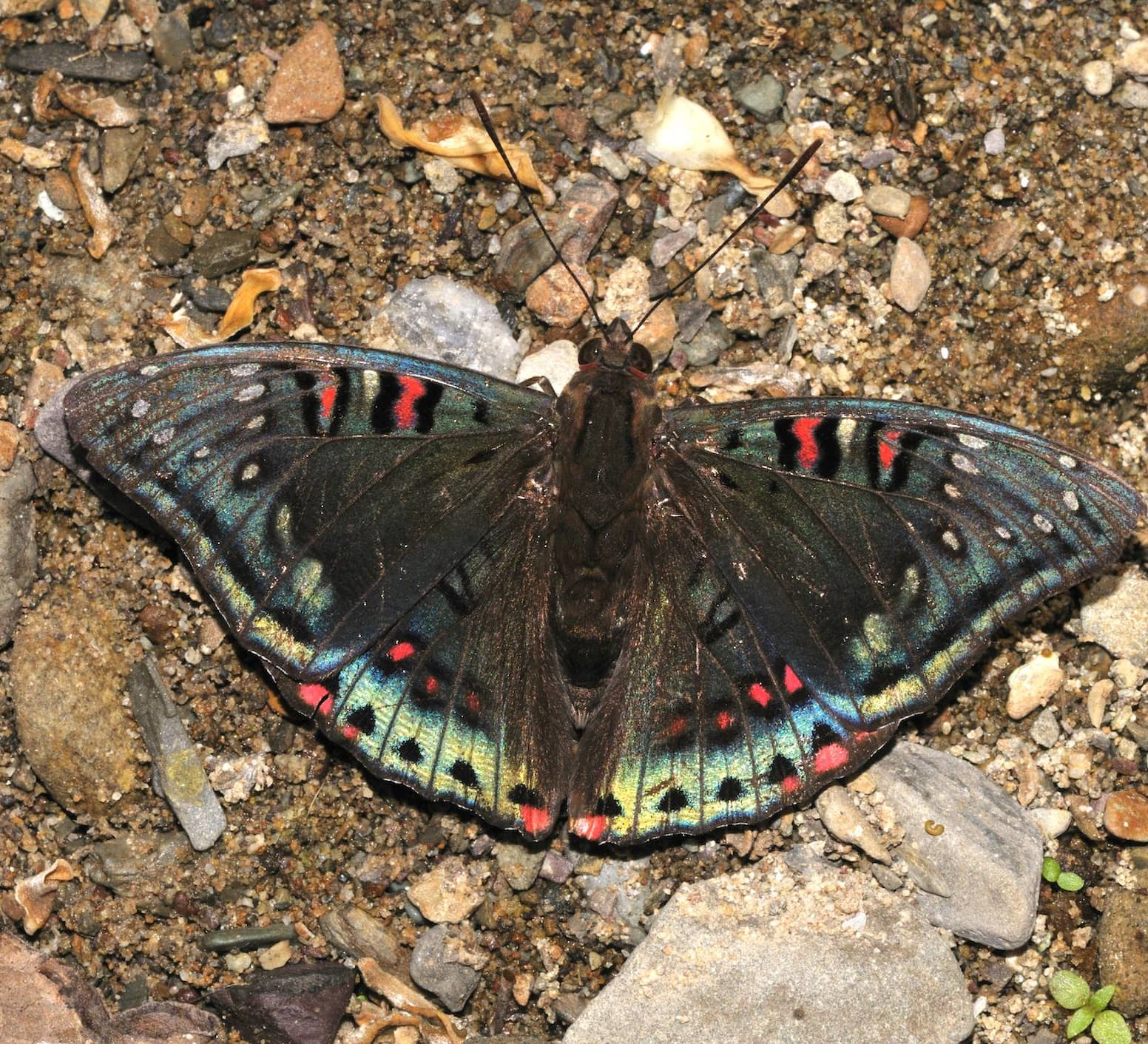 Catch a Spot of Iridescence When a Gaudy Baron Flits By