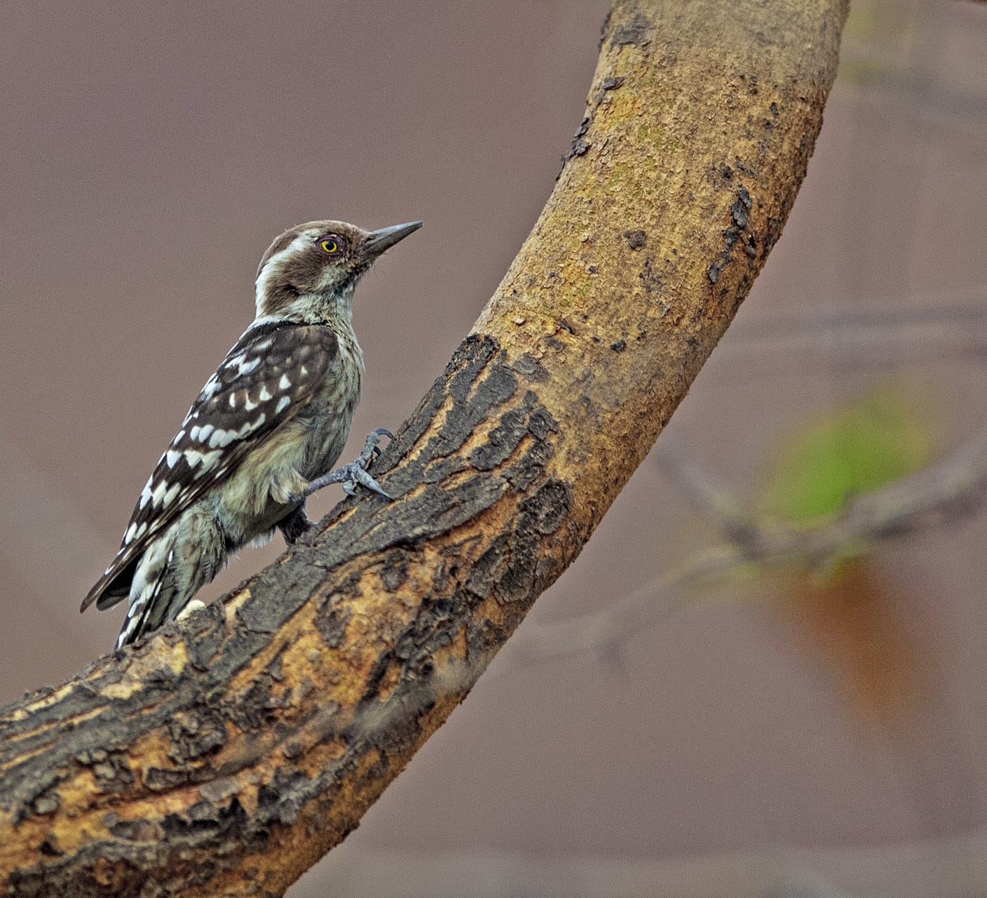 Knock on Wood: The Pygmy Woodpecker Makes an Appearance