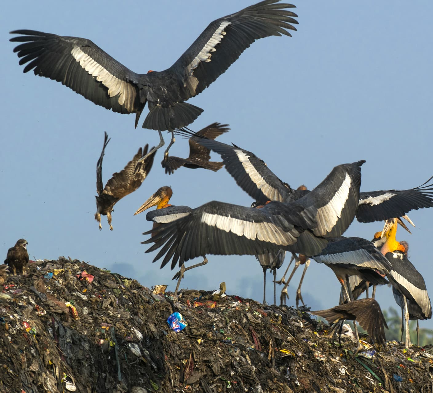 The Dramatic Tale of the Greater Adjutant