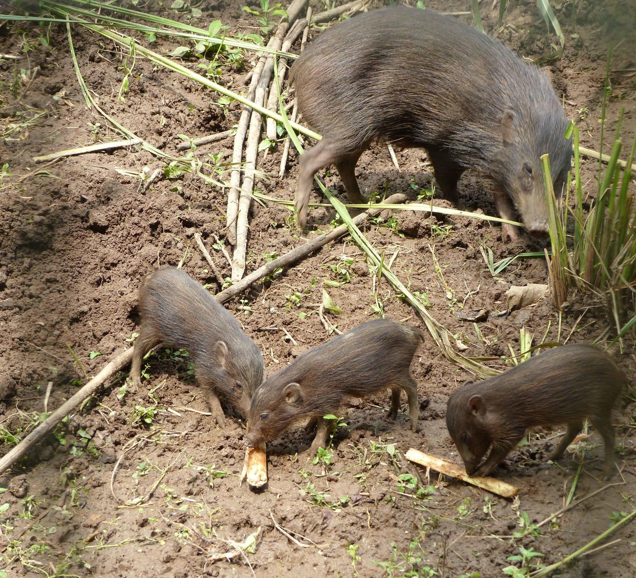 Pygmy hog: Back from the Brink