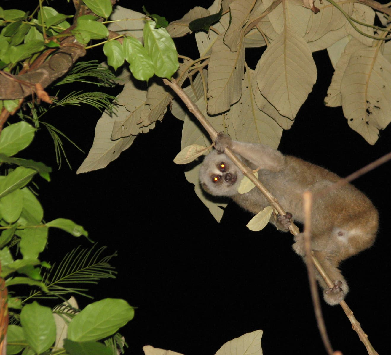 Bengal Slow Loris: The Fiery-Eyed Wonder of the Night