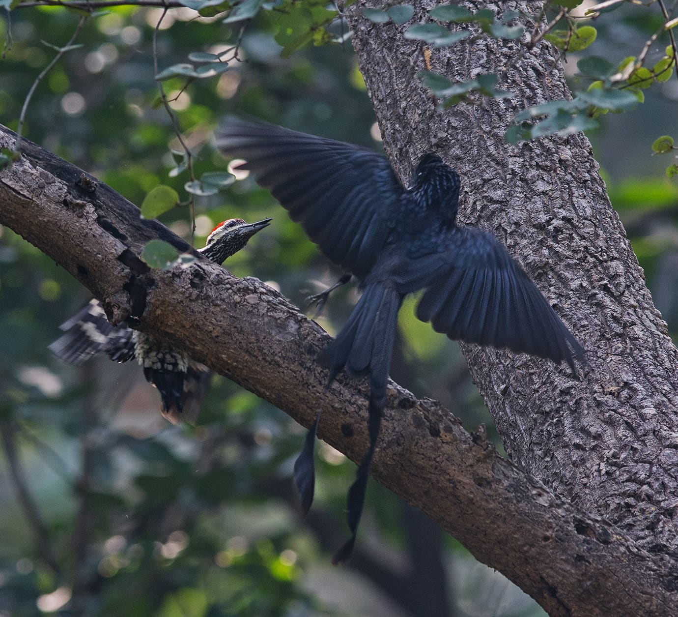 Antics and Ambush of the Greater Racket-Tailed Drongo