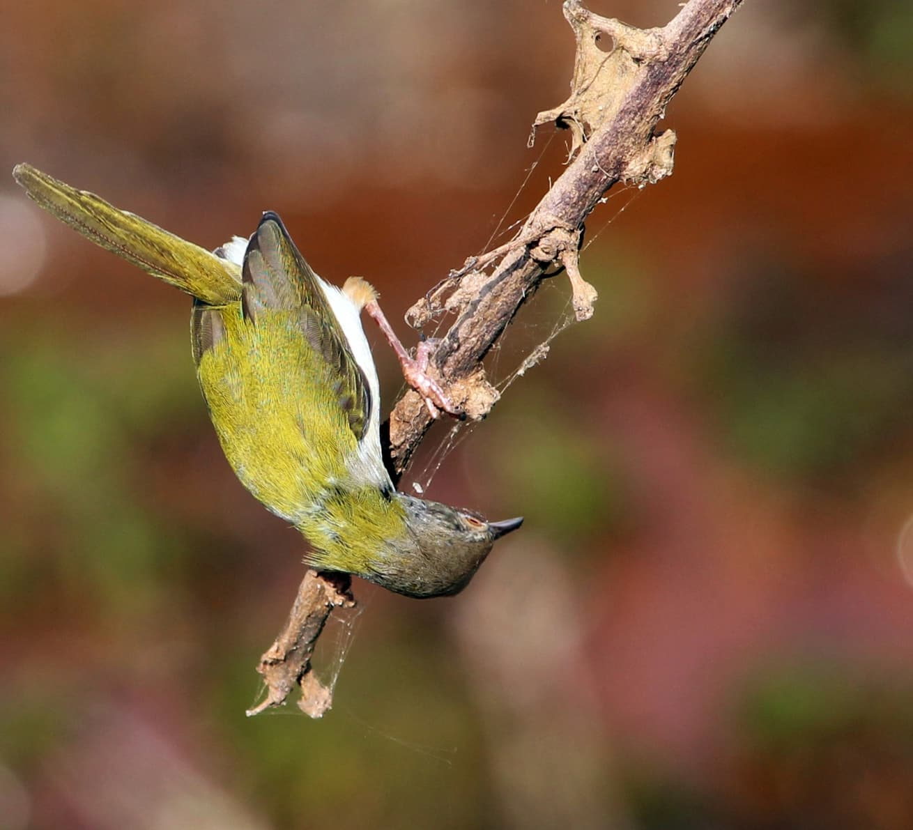 The Common Tailorbird Stitches its Magic