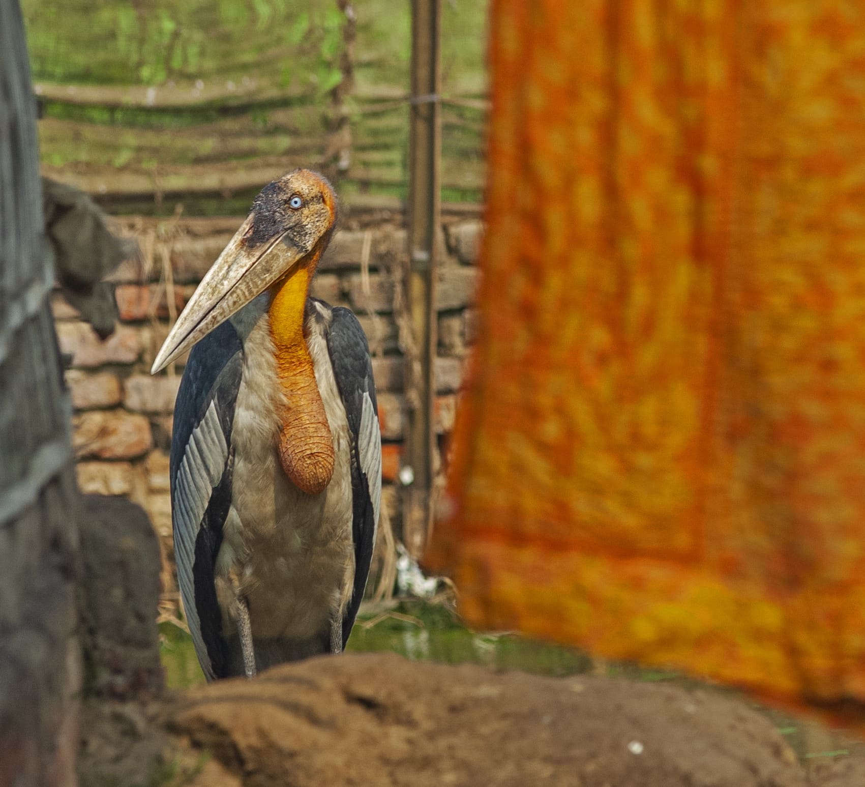 Tall, Dark and Handsome: The Greater Adjutant