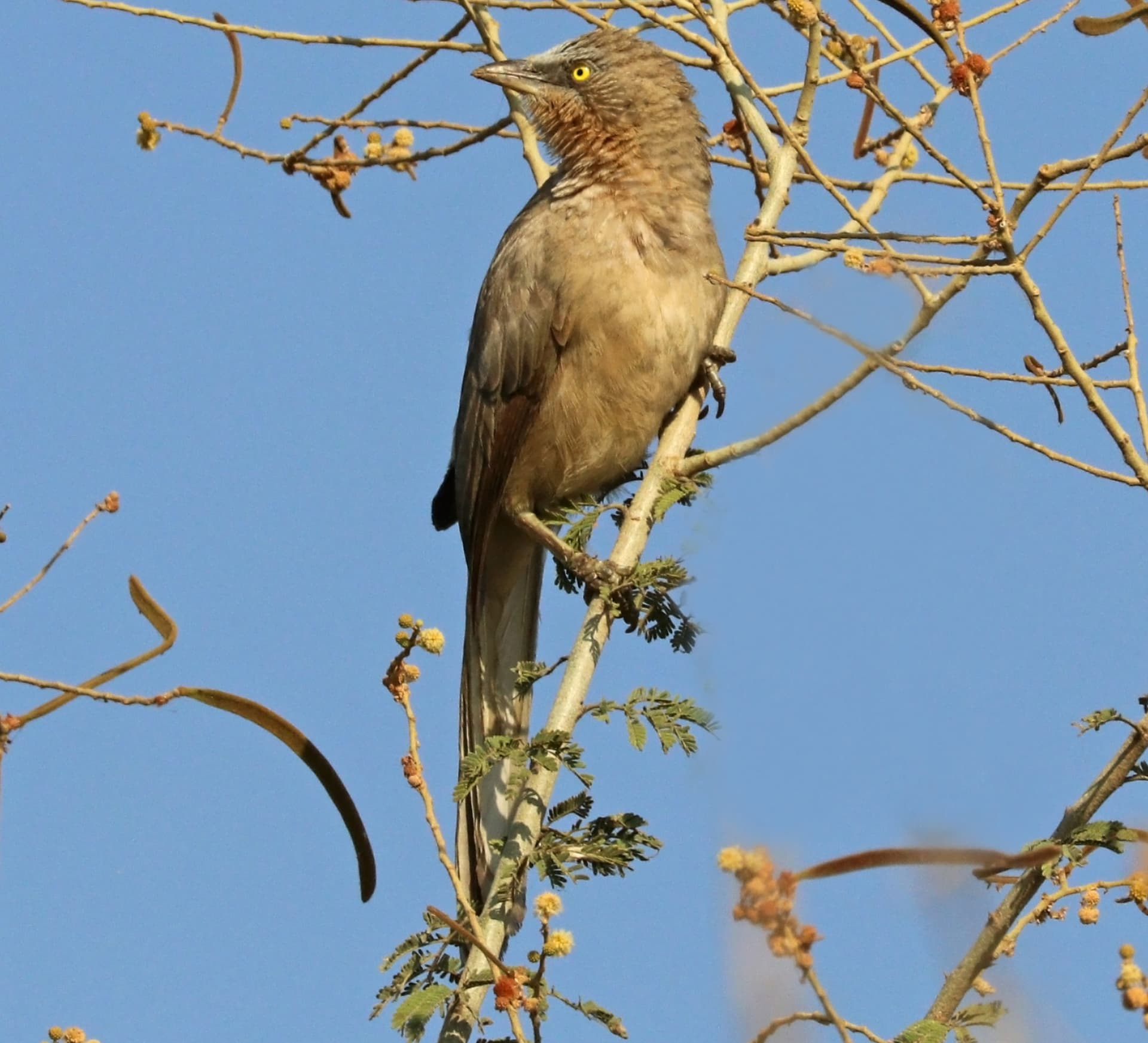 City Slickers: The Large Grey Babblers of Delhi