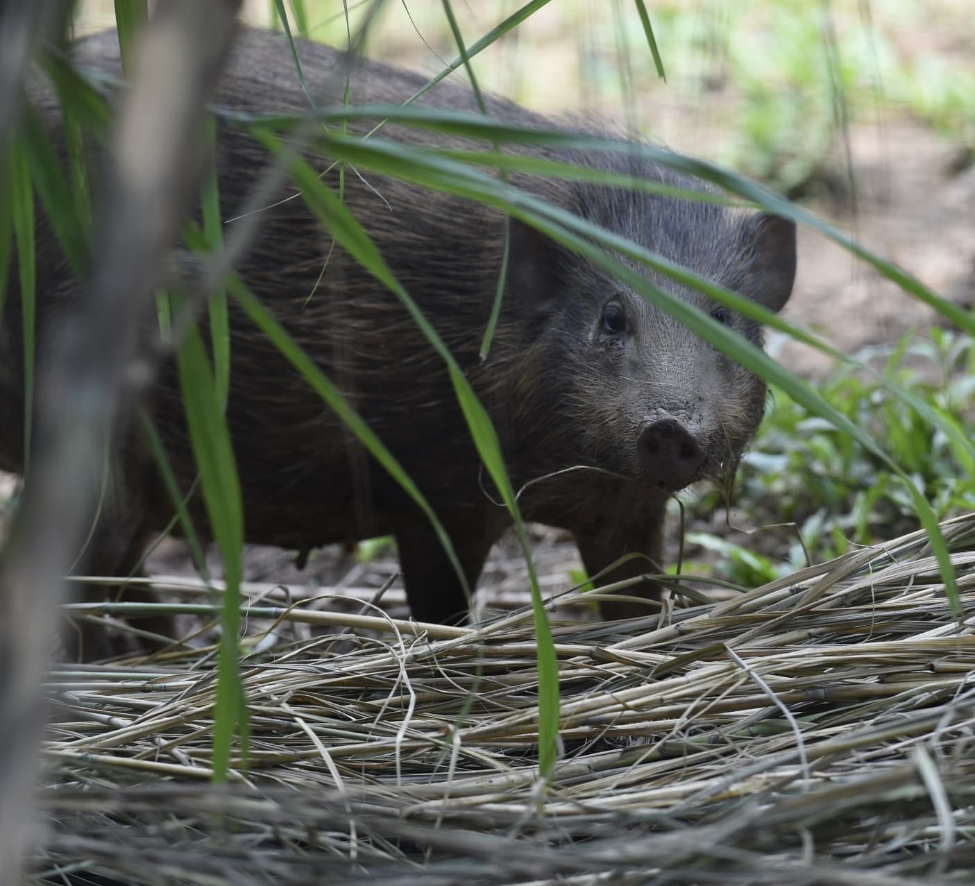 Meet the Pygmy Hog, the Rarest Pig in the World