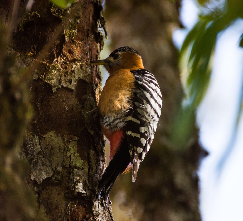 Rufous-bellied Woodpecker: A (W)holesome Guide