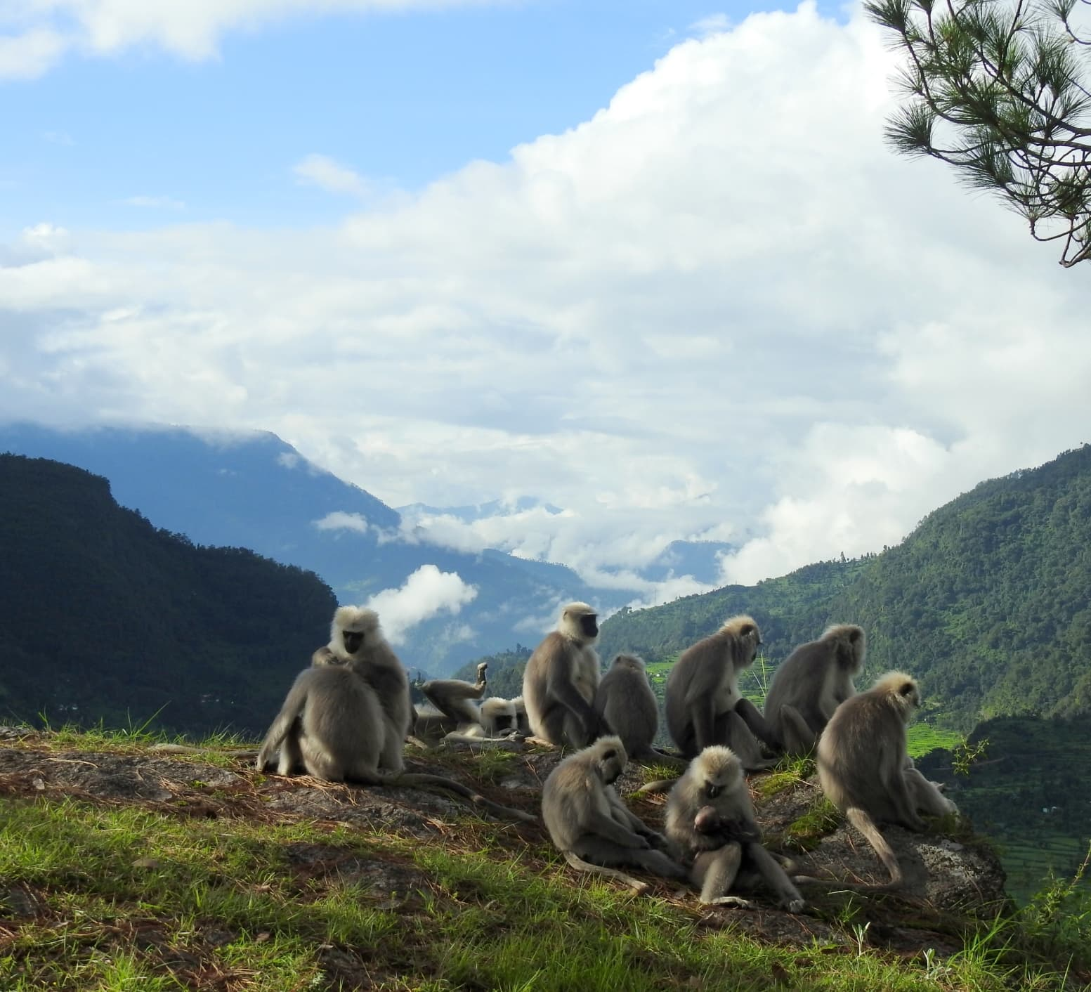Gone Too Soon: A Tale of the Central Himalayan Langurs of Uttarakhand