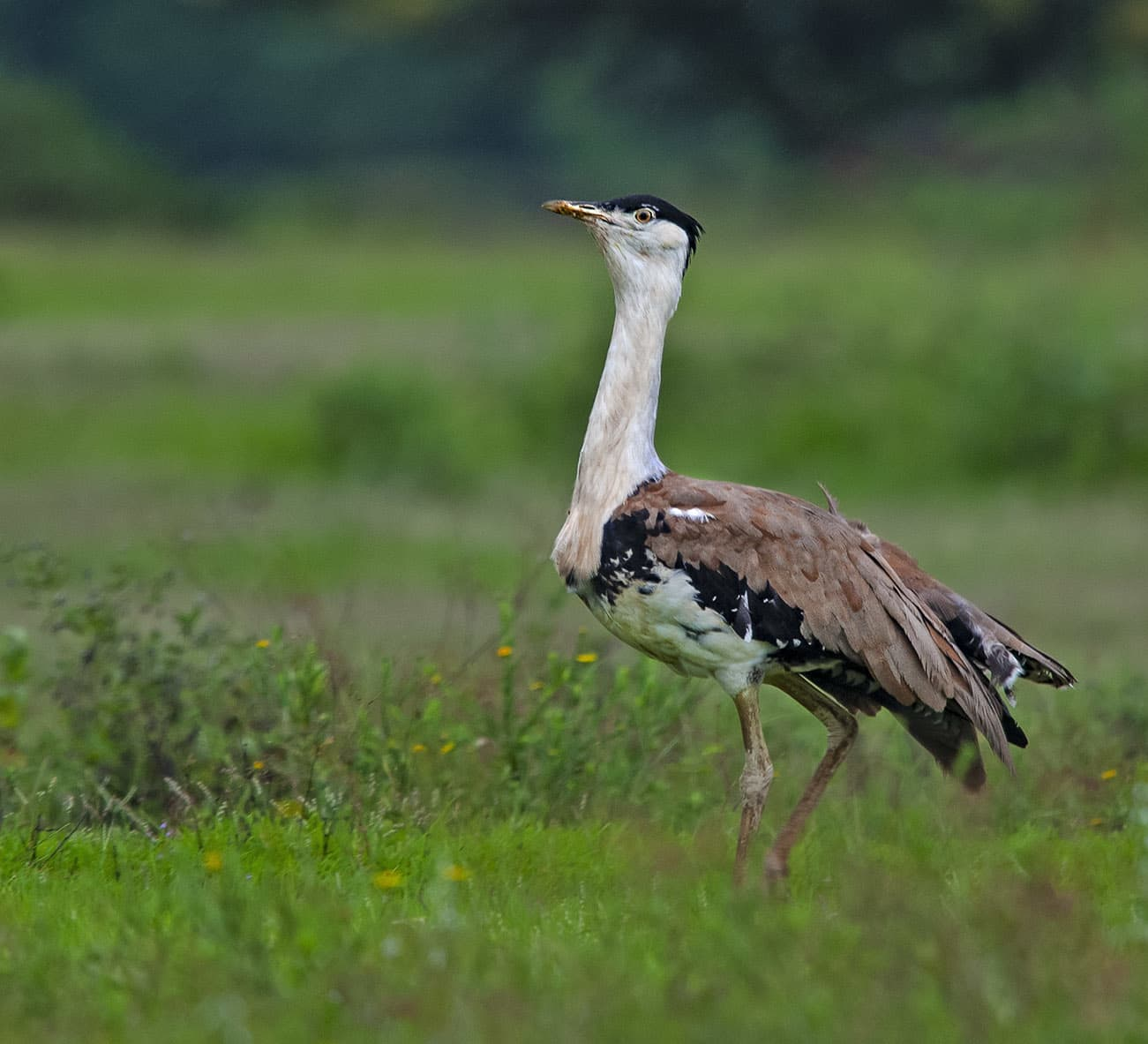 Out of Sight: The Rann, Thar, and the Great Indian Bustard