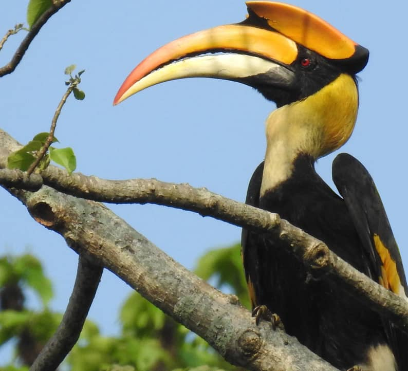 Flight of the Magnificent Hornbills