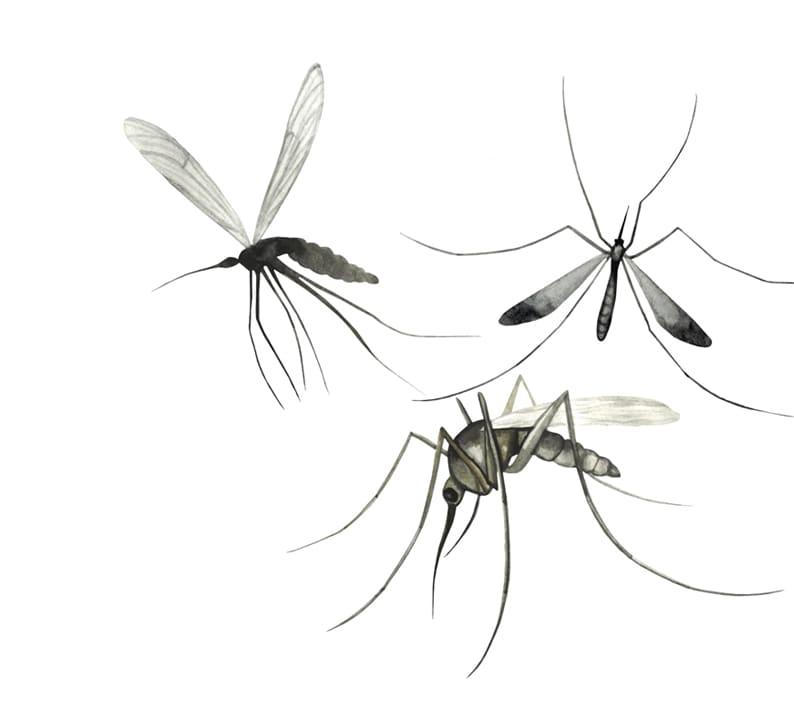 Mosquitoes: Queen of Pests or Evolutionary Genius?