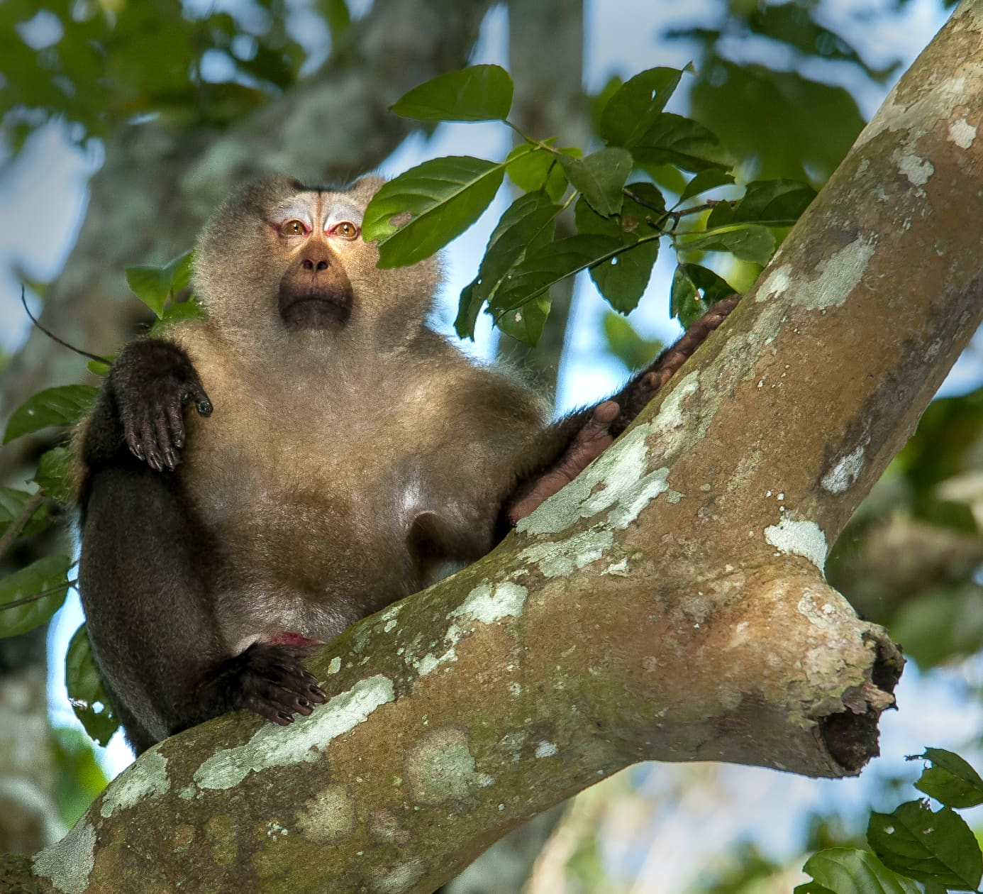 Pig-tailed Macaque: Elusive Monkey of the Deep Forest