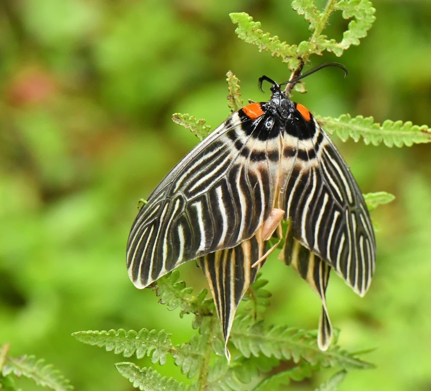 Wings of Chance: The Accidental Discovery of the Apatani Glory Moth