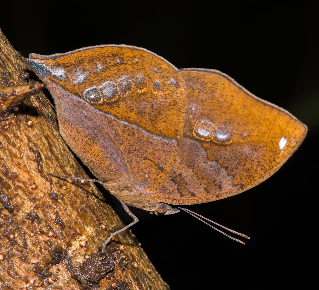 Masters of Disguise: Blue Oakleaf Butterfly