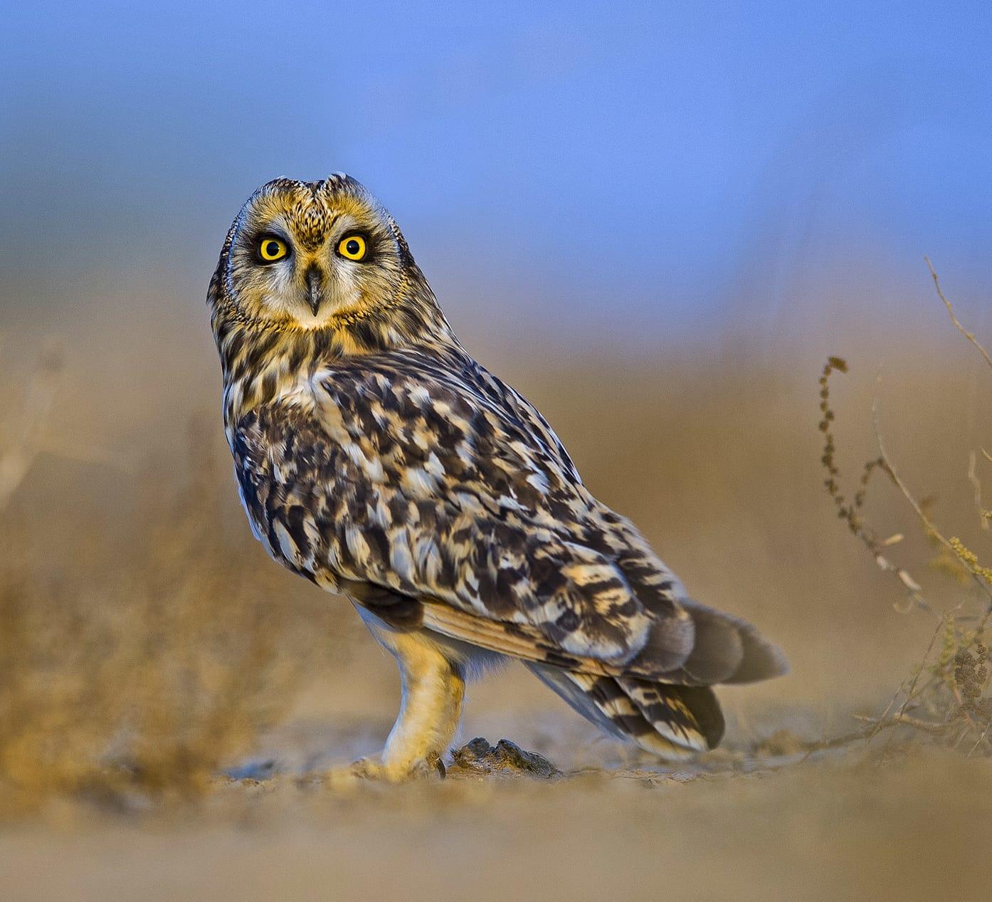 Short-eared Owl: Hidden Winter Resident of the Grasslands