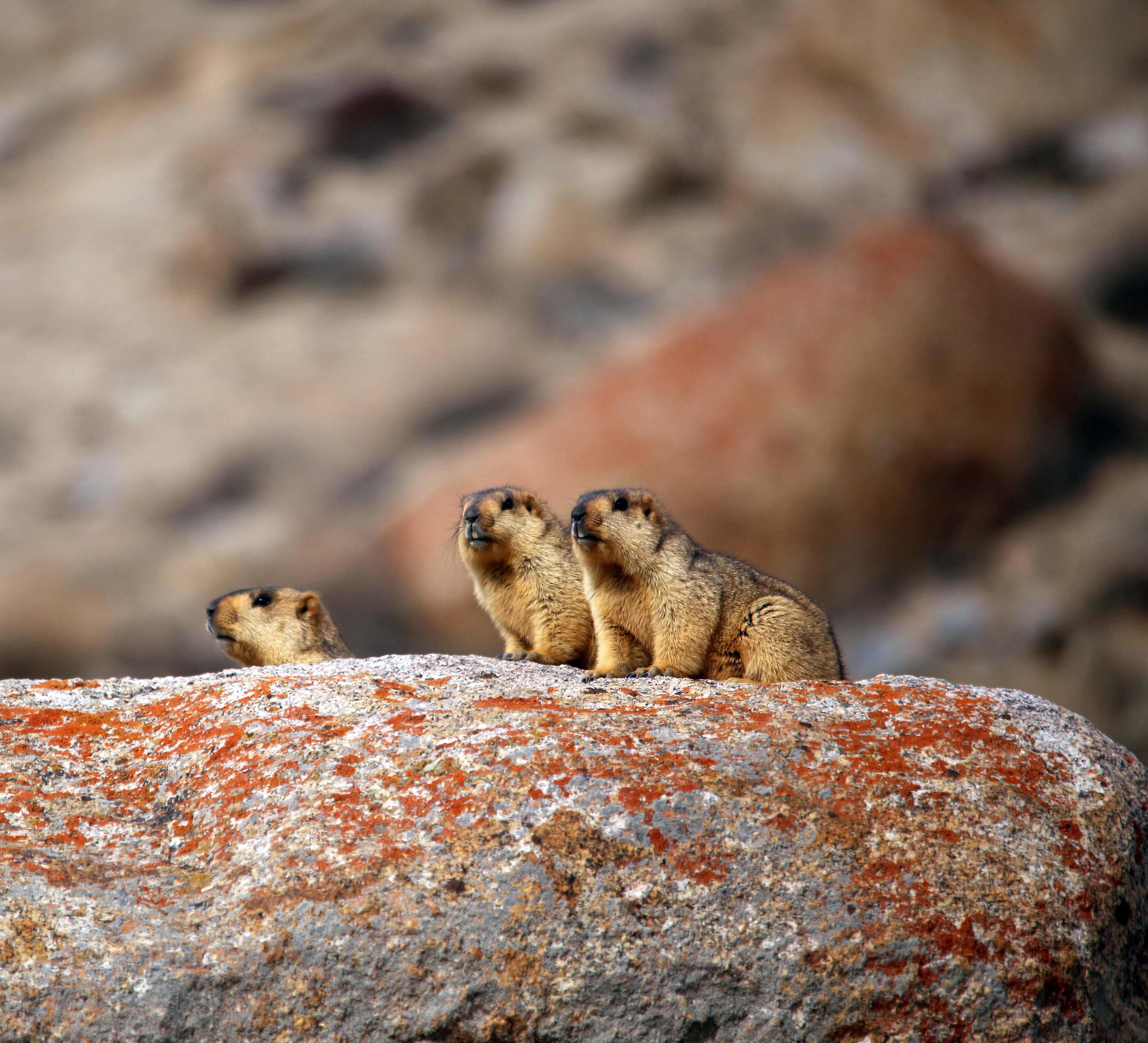 Getting Into a Huddle: The Himalayan Marmot Family