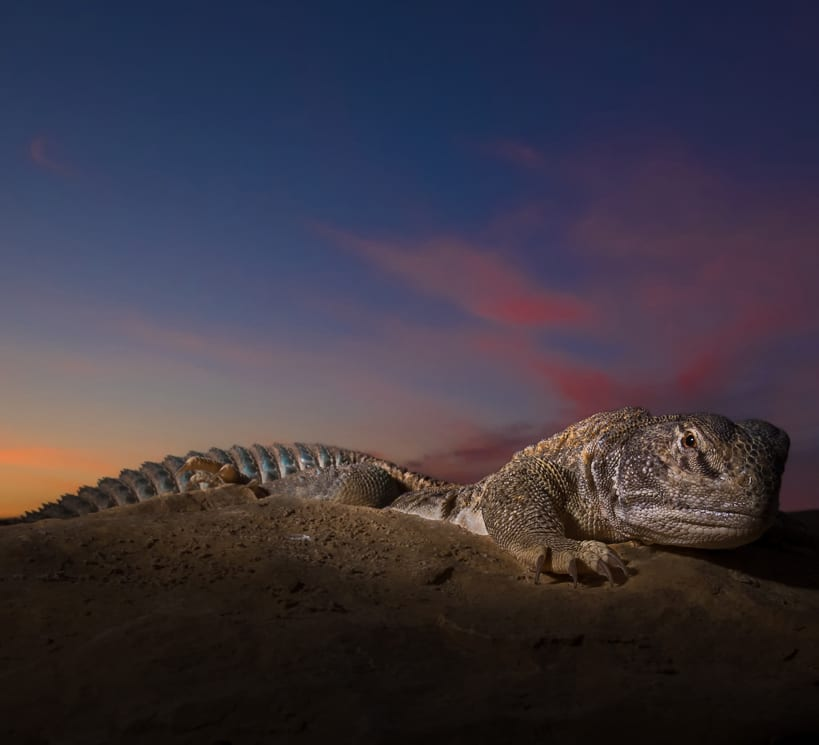 Tactical Tails: Life Moves in Slow Motion for the Spiny-tailed Lizard