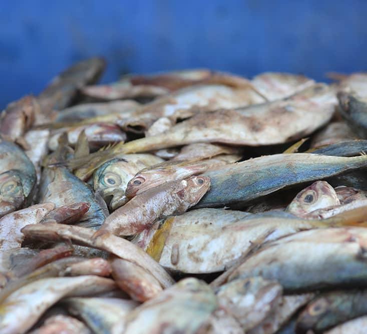 Treasure or Trash? When Unwanted Fish Sustain Livelihoods