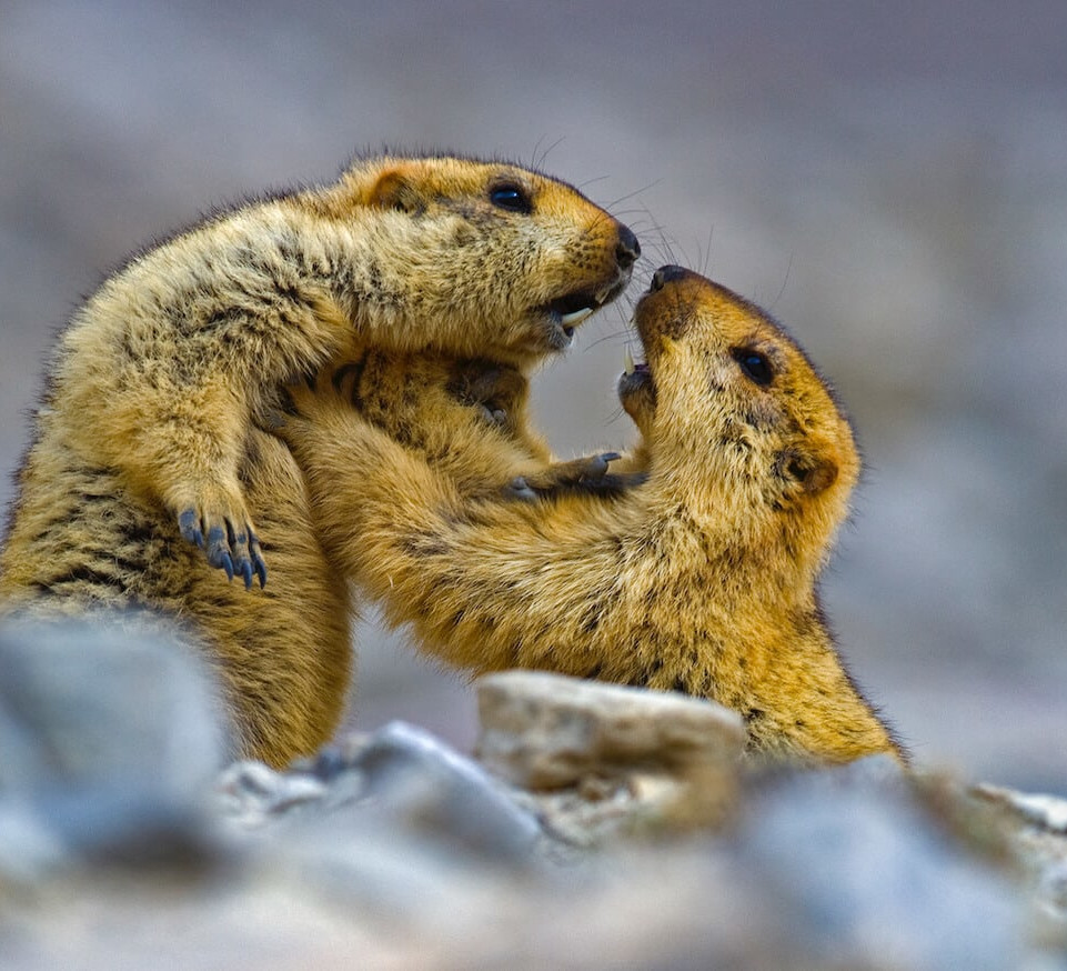 Burrow Down, Sleep Tight: The Fascinating Life of the Himalayan Marmot