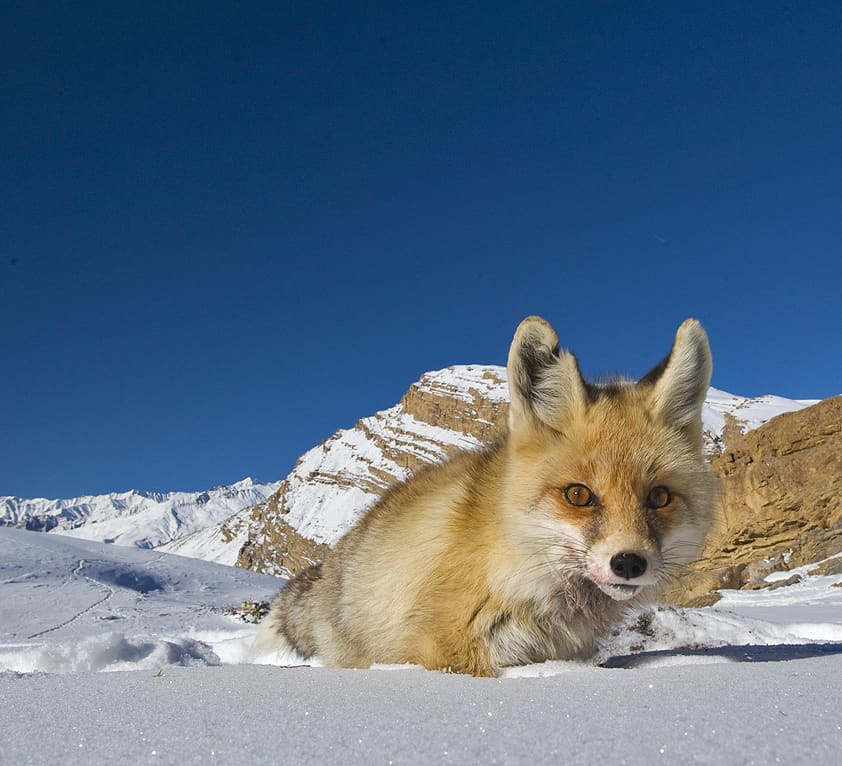 Red Fox in the Snow: Competition and Survival in the Himalayas