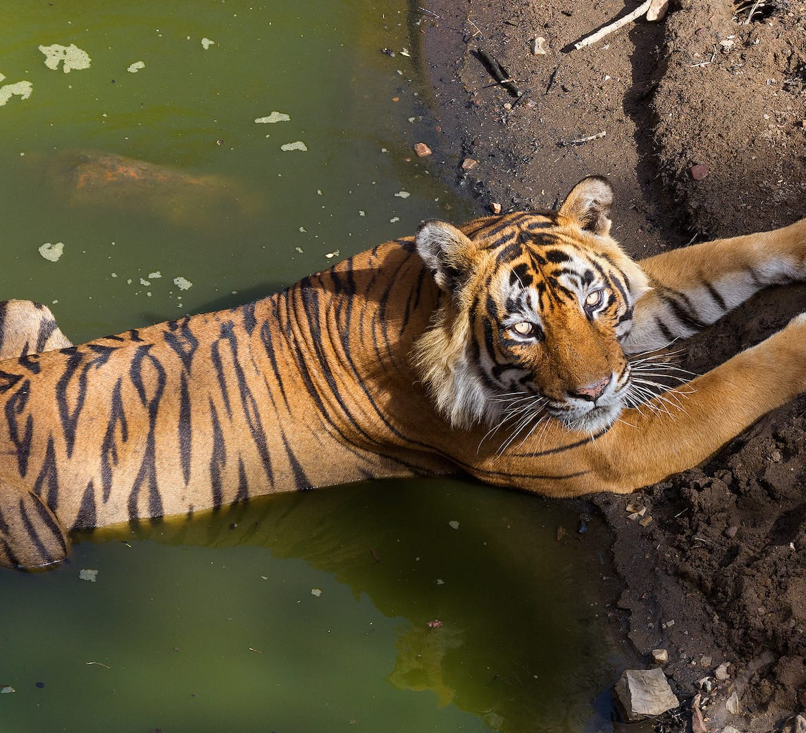 Stepping Stones to Tiger Security: The Need for Inclusive Conservation Models