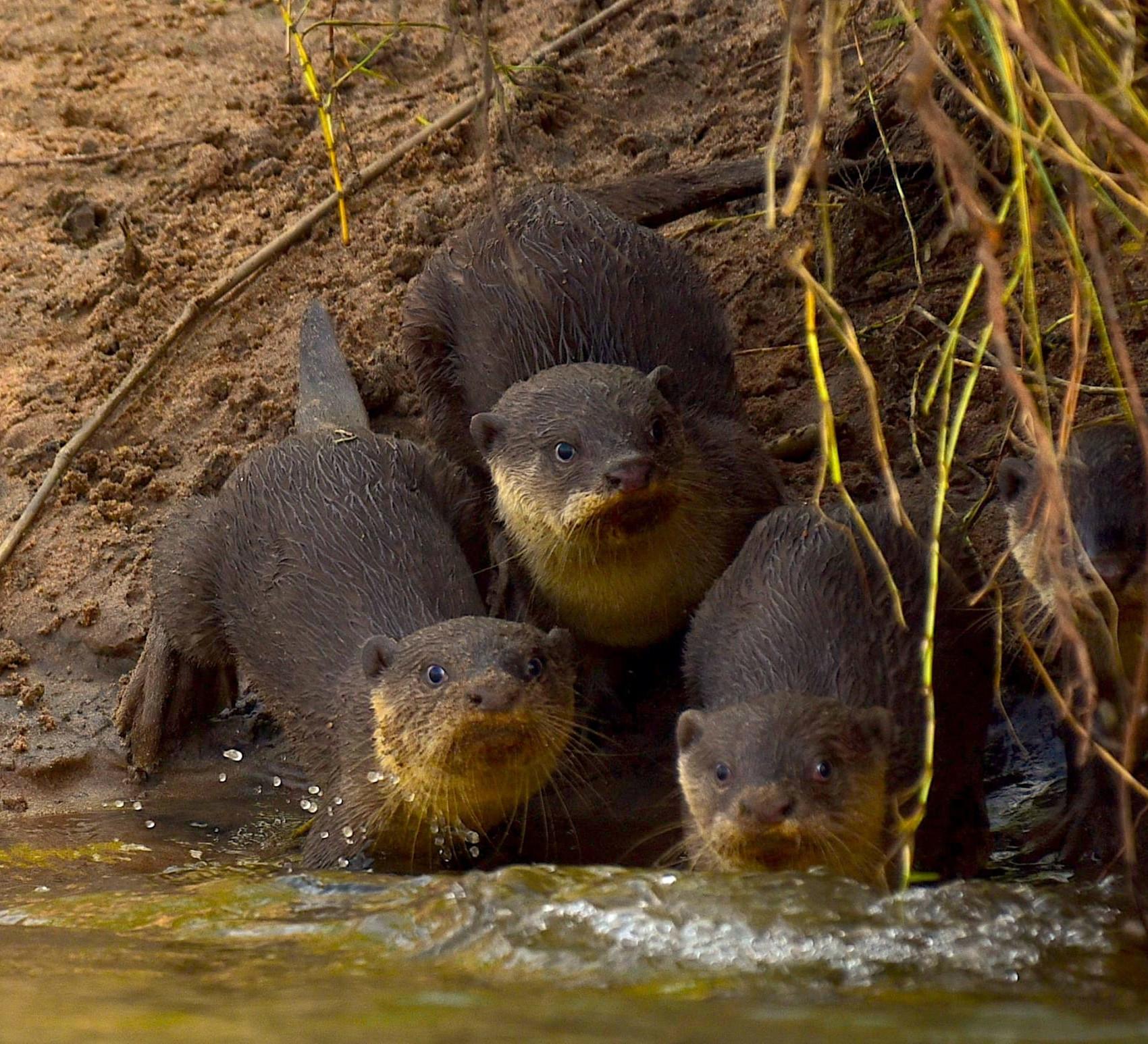 Smooth-coated otters: Slick Operators of Coringa