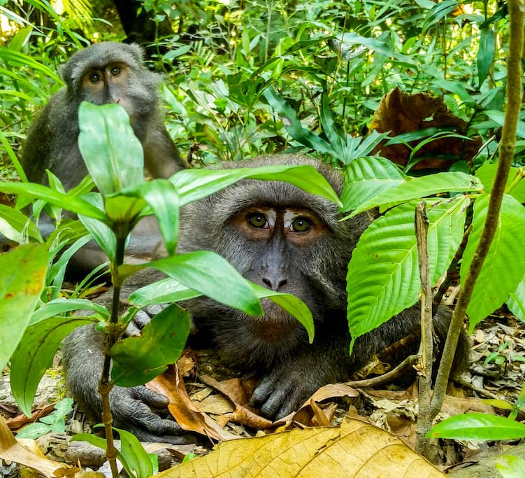 Islandic Shenanigans: Nicobar Long-tailed Macaques in a Tropical World by the Sea