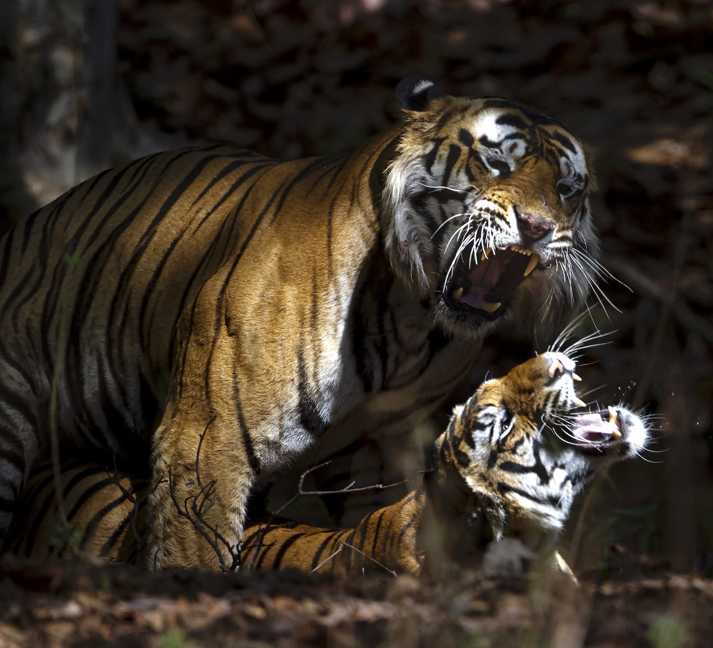 Faking It: Big Cats and the Confusion Around Paternity