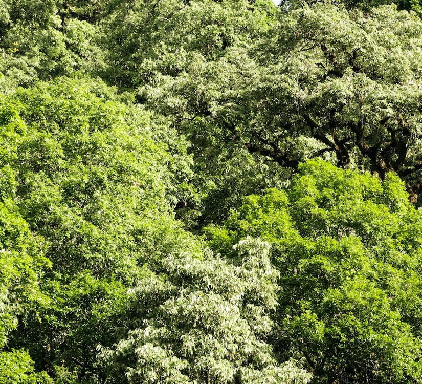 Giant Powerhouses: Secrets of the Himalayan Oak Forests