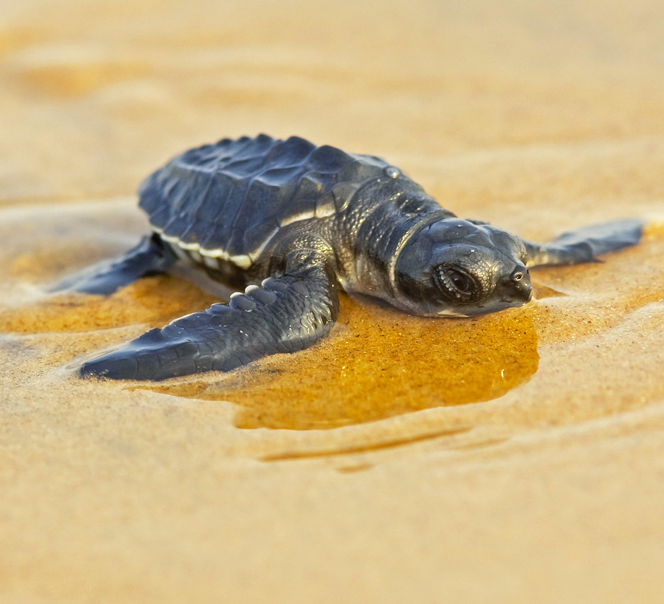 Ecotourism, and the Olive Ridley Turtles of Dapoli