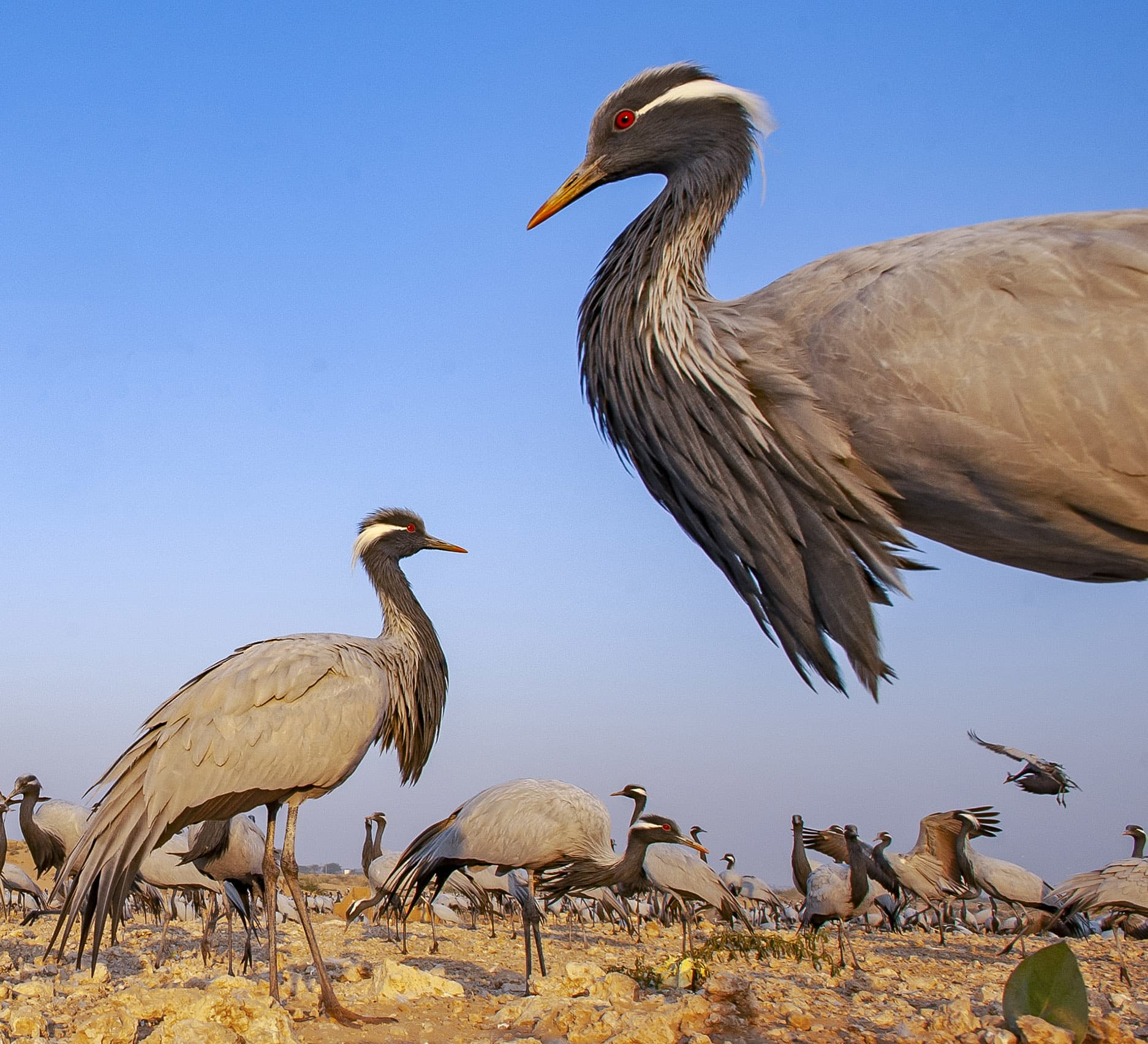 Guest List of Thousands: Demoiselle Cranes in Kheechan