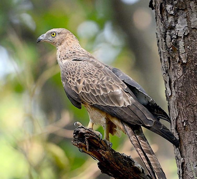 In my Backyard: The Oriental Honey-buzzard