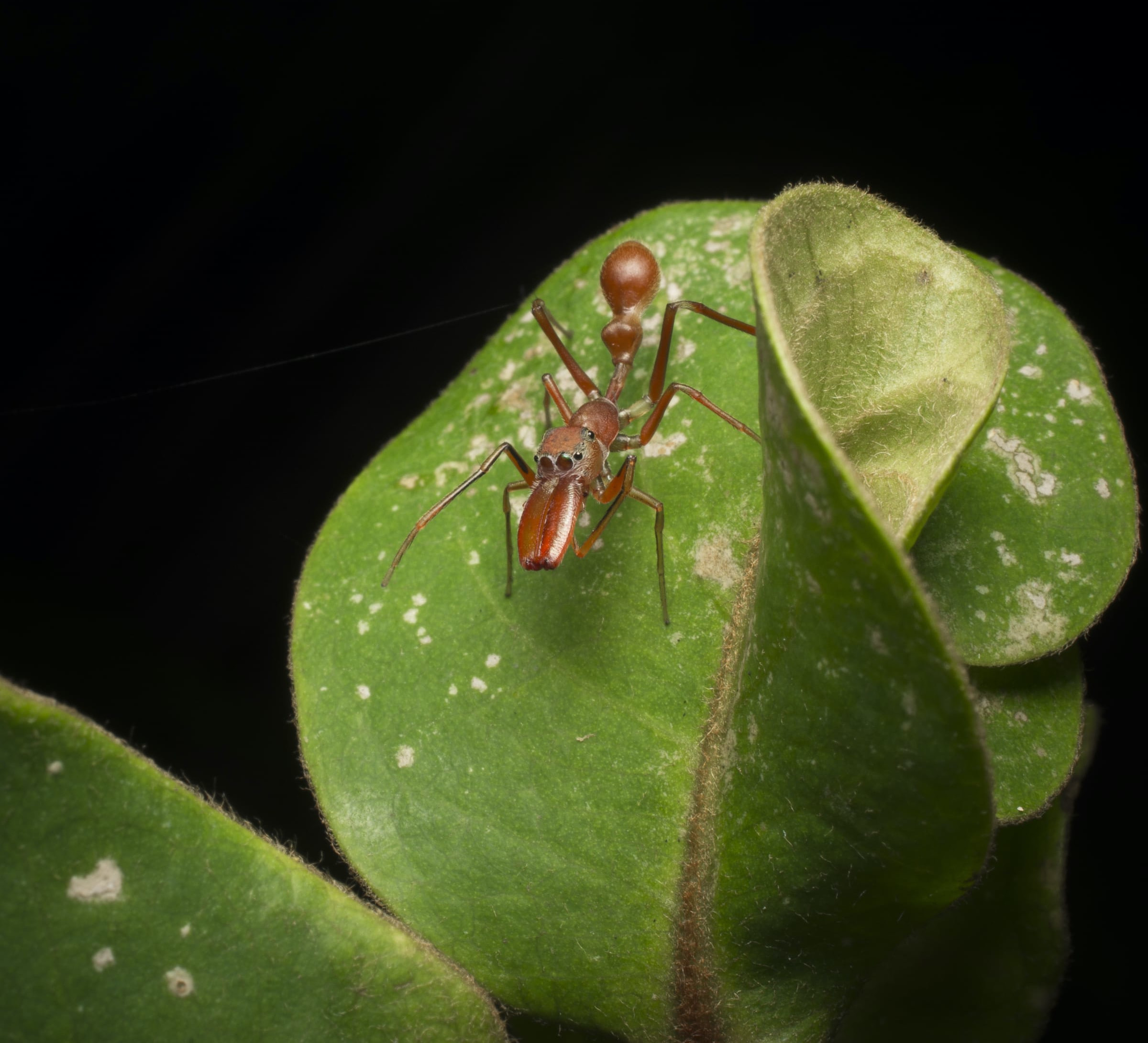 Nest of Deception: When Spiders Mimic Weaver Ants