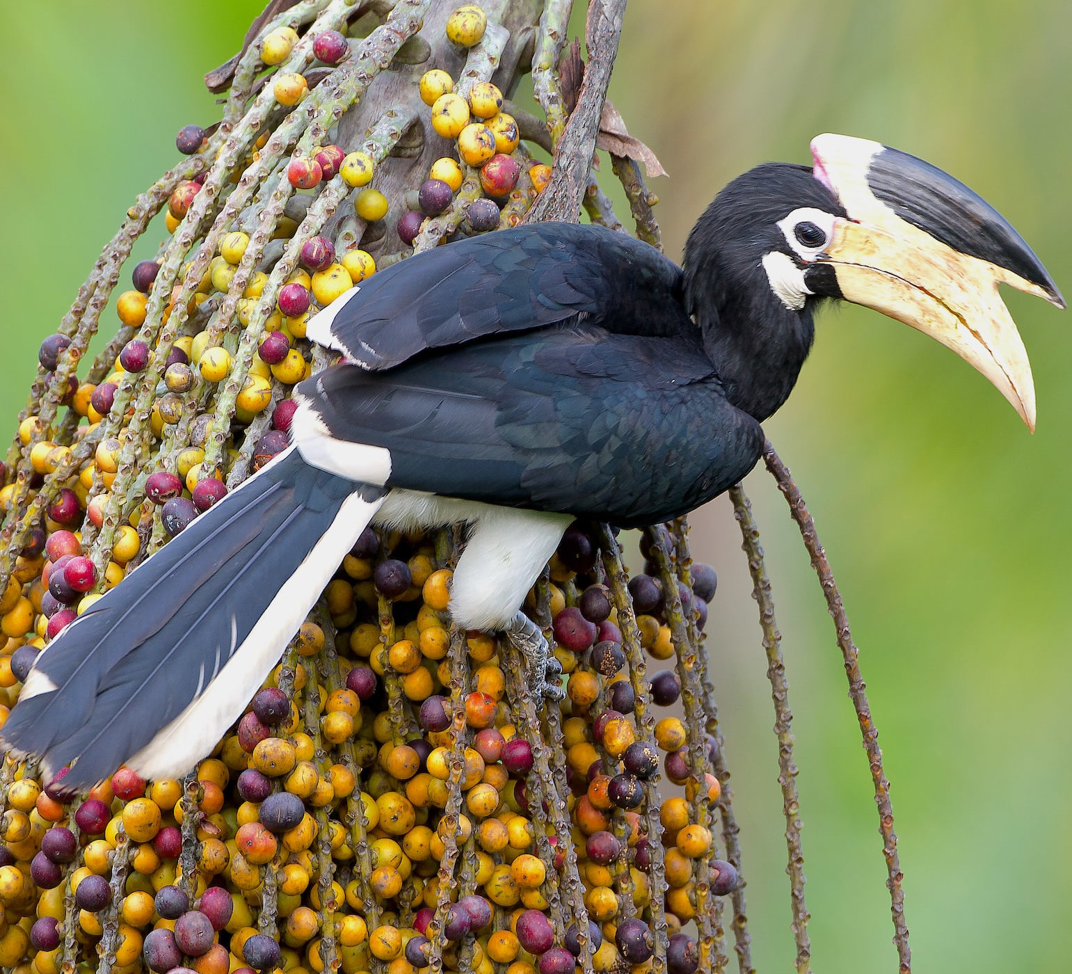 Hornbills of India: Encounters to Remember