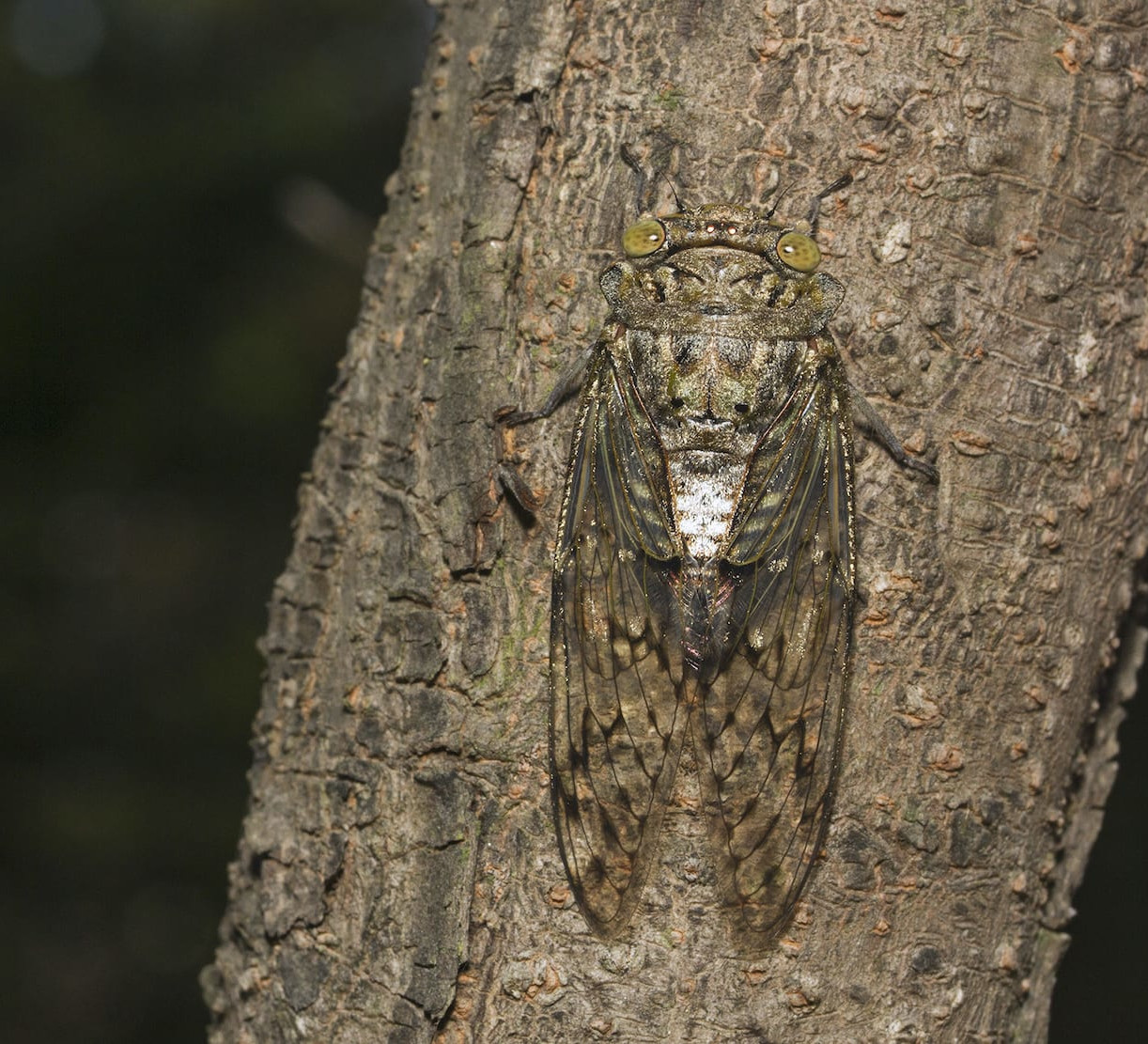 Monsoon Musicians: Songs of the Cicadas