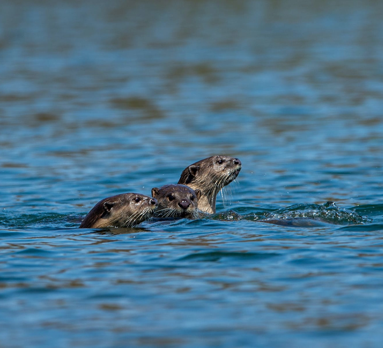 Otters Slipping Away Outside Protected Areas
