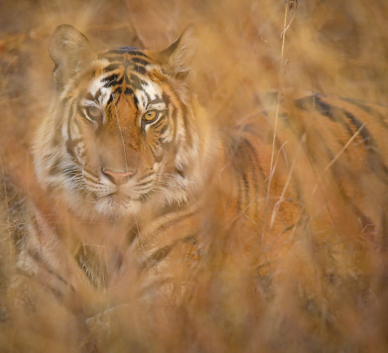 Bold and Beautiful: Panna's Glorious Tigers
